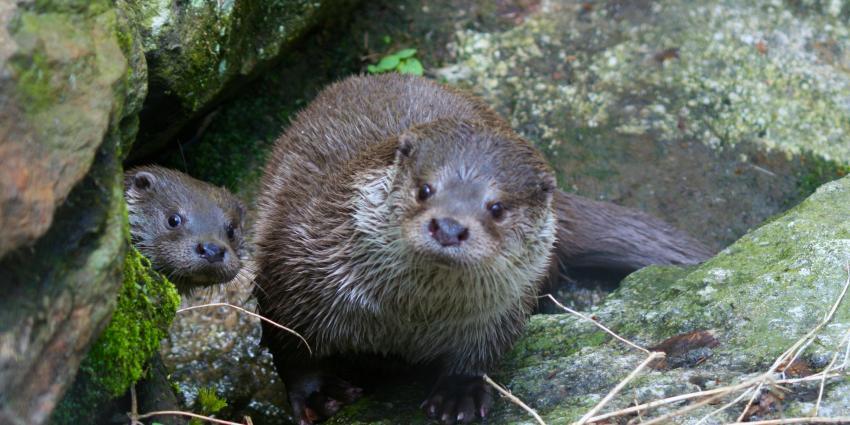 Otter in bebouwde kom Leeuwarden