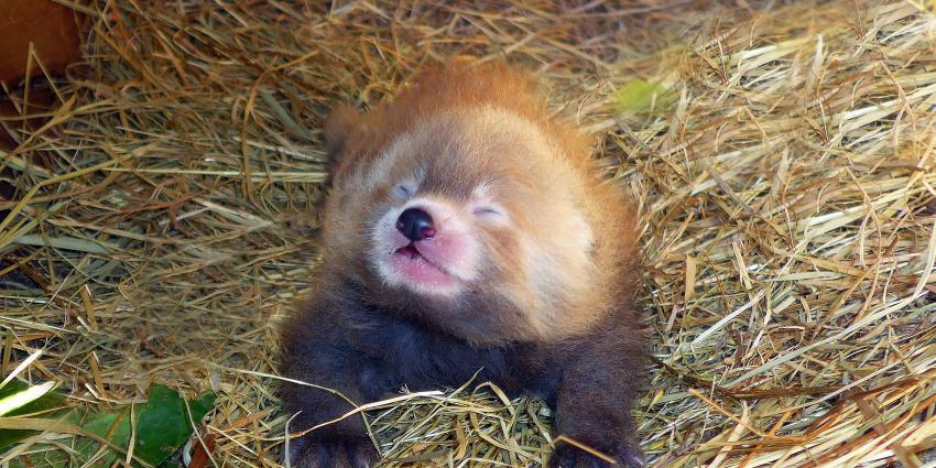 Rode panda jong