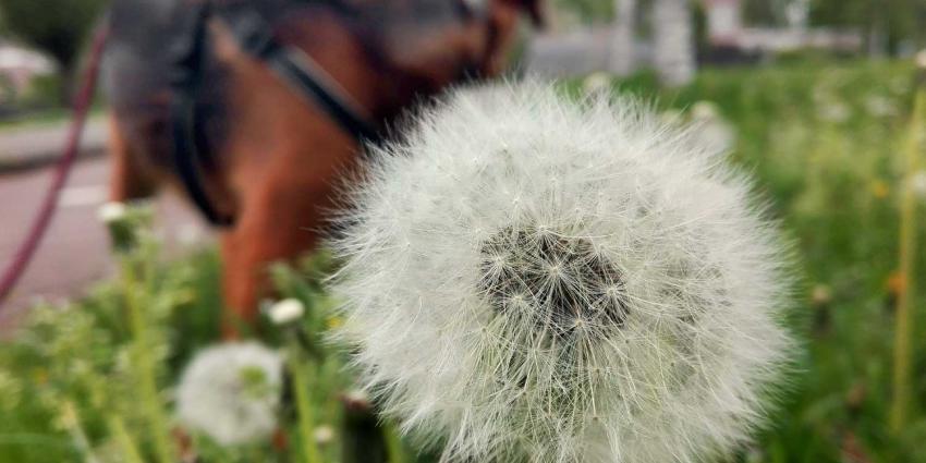 paardenbloem-pollen-hond