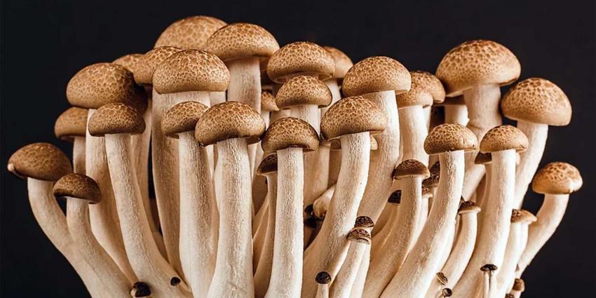 paddo-mushroom
