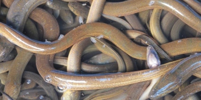 Chinezen met 72 kilo paling in koffers gesnapt op Schiphol