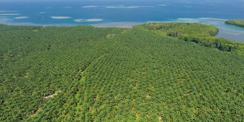 Nederlandse bedrijven koploper duurzame palmolie