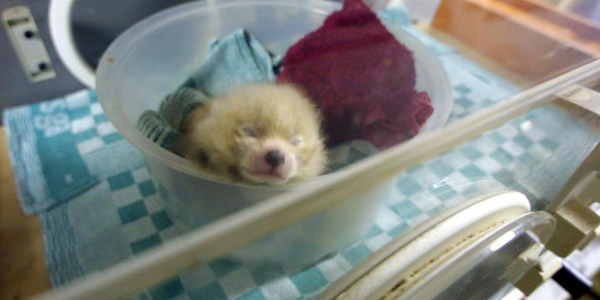 Panda geboren in Belgisch dierenpark Pairi Daiza