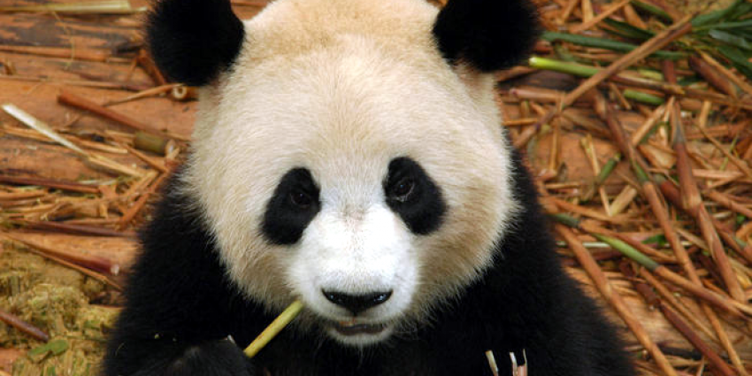 Reuzenpanda's Xing Ya en Wu Wen vermaken zich prima