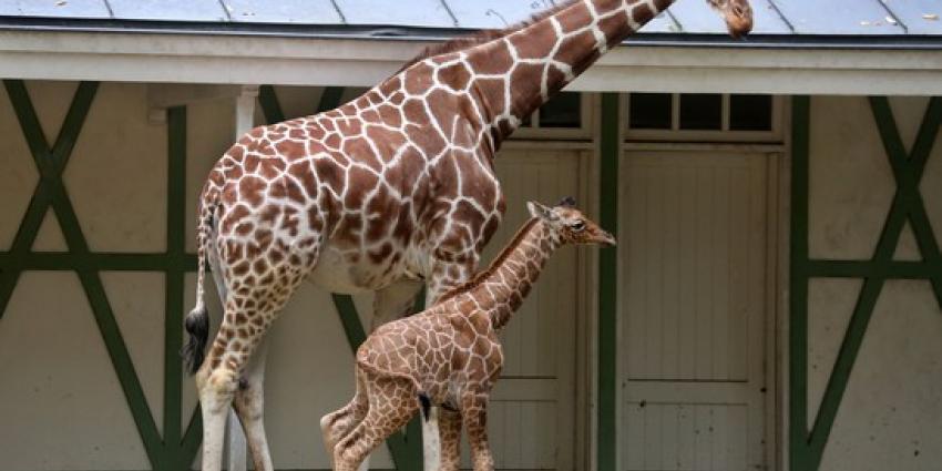 Pasgeboren giraffeveulen zet eerste stappen buiten