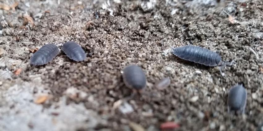 Pissebed vaakst geziene 'bodemschatje
