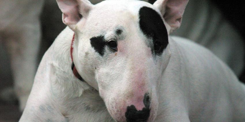 Zes honden doden labrador in Katwijk. Agent schiet op hond