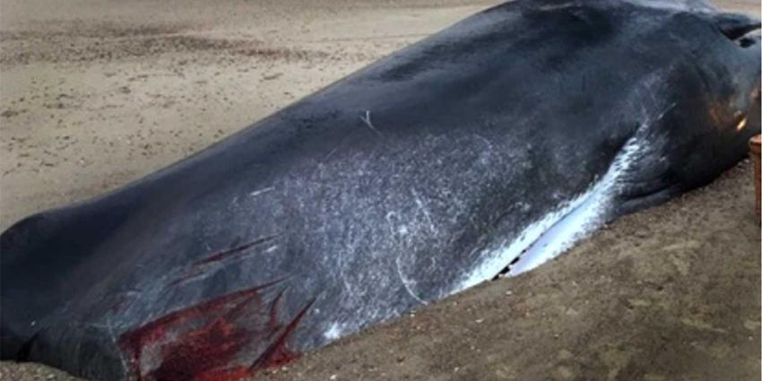 Geen plastic aangetroffen in maaginhoud potvis Domburg