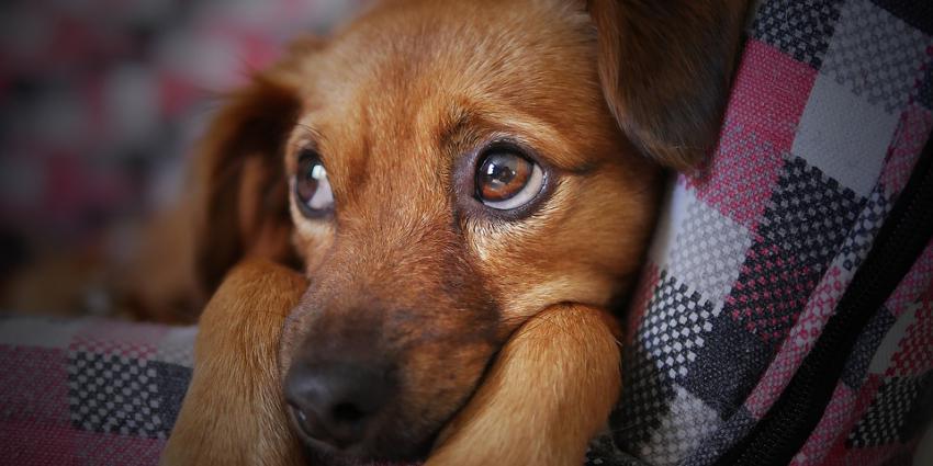 Verdachten puppyzwendel veroordeeld