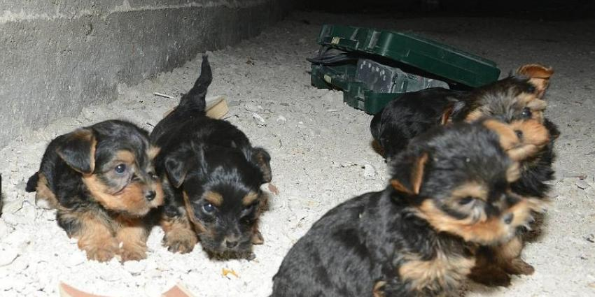 Haagse handelaar verstopt zijn hondjes in kruipruimte
