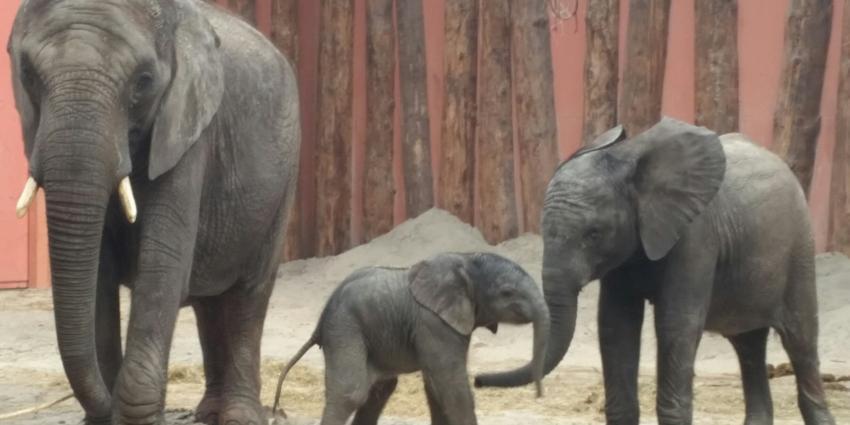 Pasgeboren olifantje Madiba zorgt voor topdrukte in Safaripark Beekse Bergen