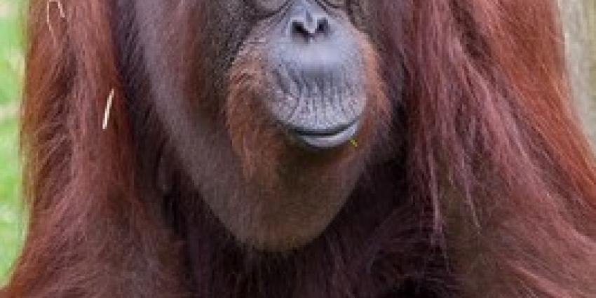 Oudste orang-oetan van Apenheul overleden