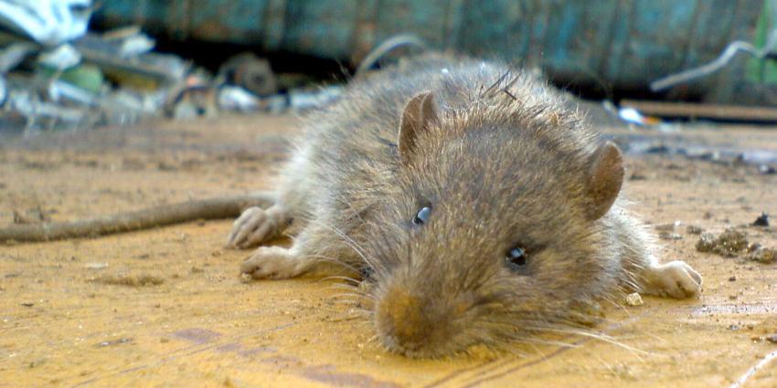 Stijgend aantal mensen ziek door ratten en muizen