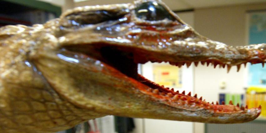 Helmondse houdt alligator in woonwijk