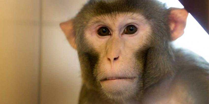 'Apen in BPRC Rijswijk blind en verlamd gemaakt'