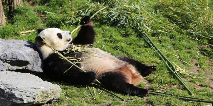 Publiek kan reuzenpanda's Xing Ya en Wu Wen bezoeken