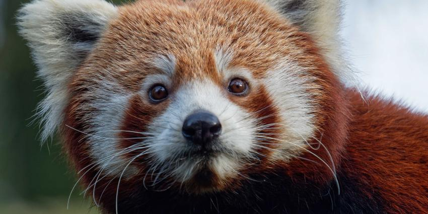 Rode panda's Ying en Yena maken kennis in DierenPark Amersfoort