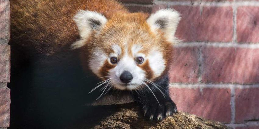 DierenPark Amersfoort verwelkomt panda's