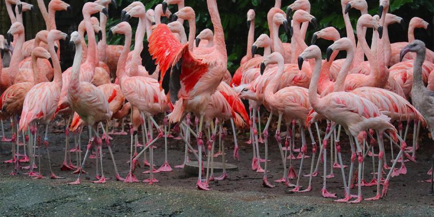 Nieuwe flamingo's in Dierenpark Amersfoort