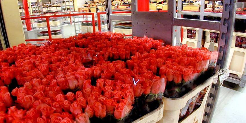 Steeds meer rozen geïmporteerd naar Europa