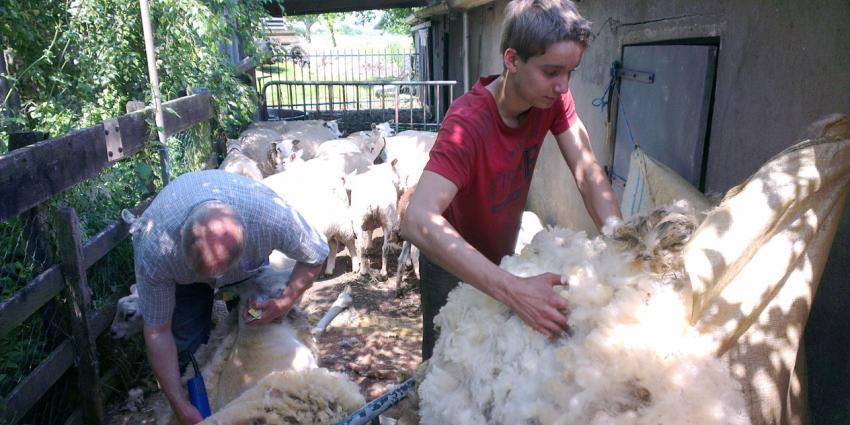 Minder schapen op de boerderij