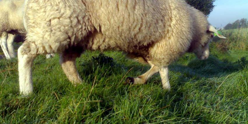 Kudde schapen gestolen in Groningen