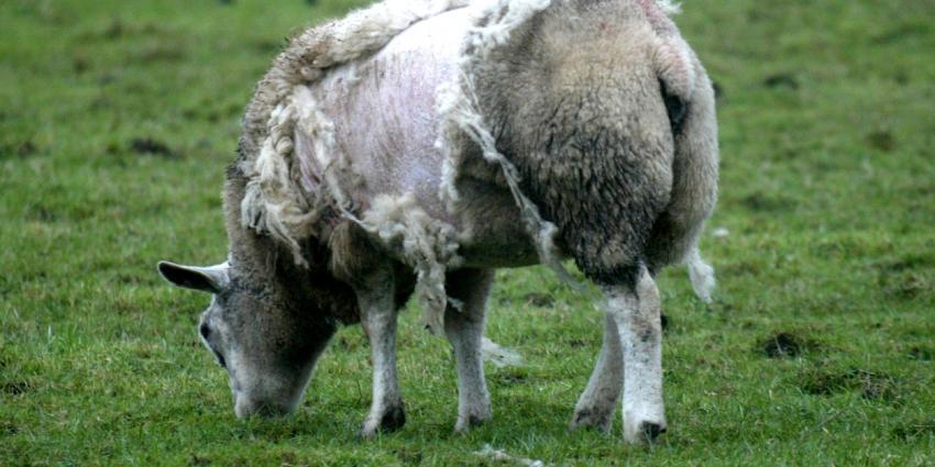 Inspecteurs treffen 100 dode schapen en lammeren aan bij veehouder in Friesland