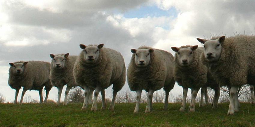 Herdershond doodt en verwondt schapen in Hoofddorp