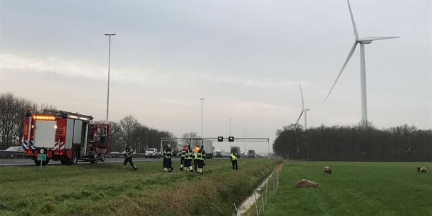 Schapen te water in sloot langs snelweg A58 bij Oirschot