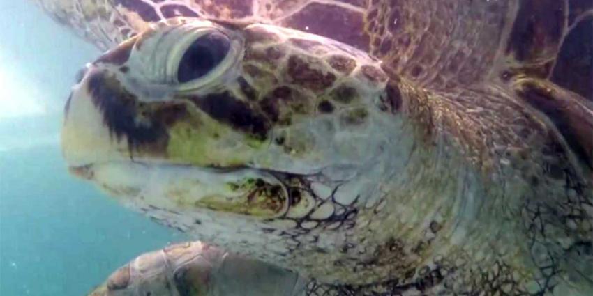 Schildpad blijkt zwemmende 'spaarpot' te zijn