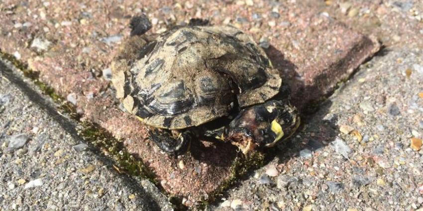 schildpad, dierenleed