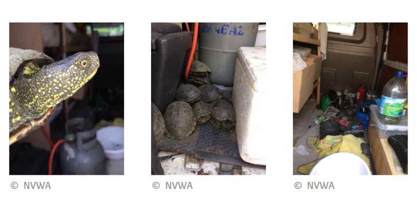 NVWA en politie nemen 136 verwaarloosde schildpadden in beslag