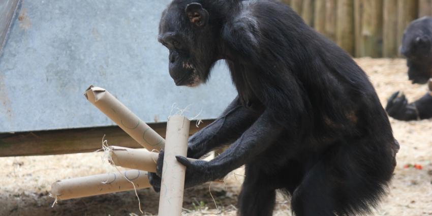 Chimpansee Sjors 50 jaar in Dierenpark Amersfoort