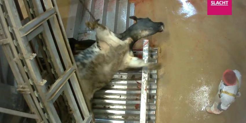 Opnieuw dierenleed in Belgisch slachthuis