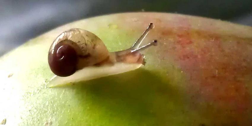 slakje-appel-fruit-voedsel
