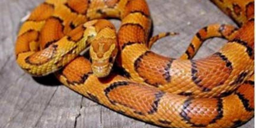 Tientallen exotische slangen gestolen in Heteren