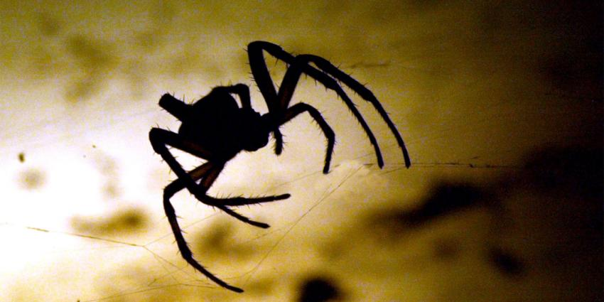 Rijnsburg in de ban van zeer giftige spin