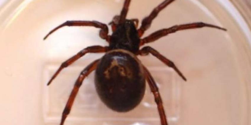 Man been kwijt na beet van spin in Engeland