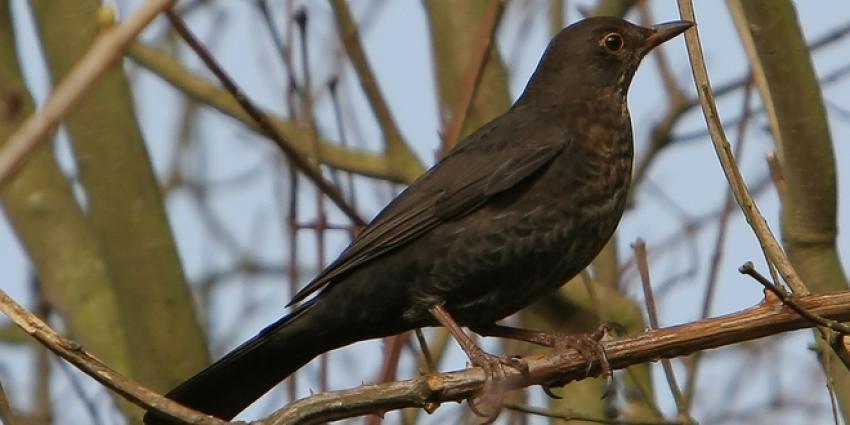 Spreeuw meest getelde vogel op vogelteldag