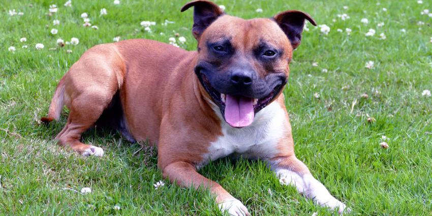 hond, staffordshire, terriër