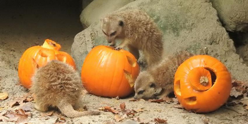 dierenpark, halloween, pompoenen