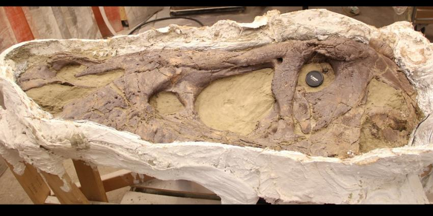 Naturalis:schedel T. rex is 'puntgaaf'