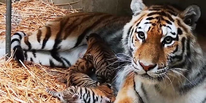 tijger-syberisch