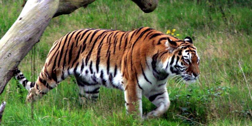 Twee tijgers ontsnapt in Friesland