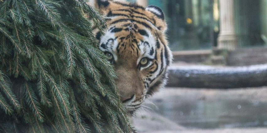 Kerstboom inleveren voor de dieren in DierenPark Amersfoort