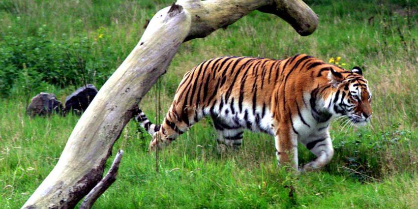 tijger-natuur