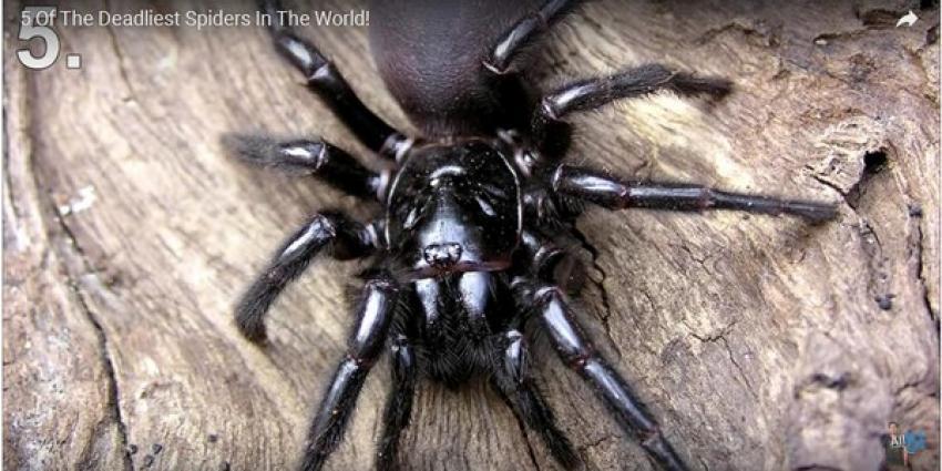 Jongetje (10) overleeft beet dodelijkste spin ter wereld