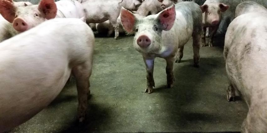 Foto van varkens