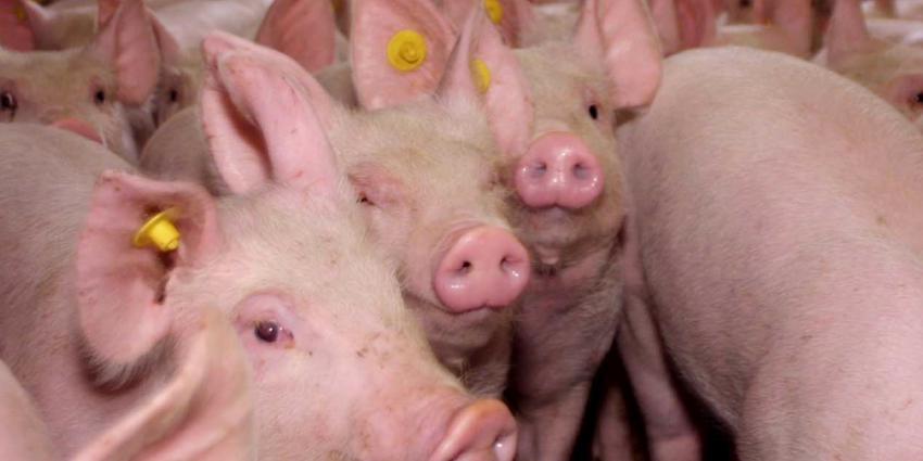 NVWA gaat klimaat in varkensstallen controleren