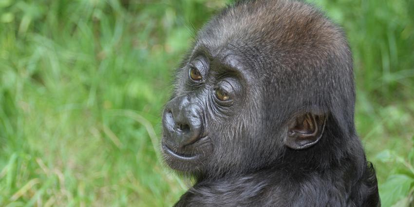 Verstoten gorilla opgenomen in groep Artis